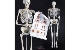 Squelette taille grandeur nature